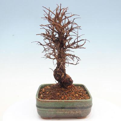 Bonsai im Freien - Zelkova - Zelkova NIRE - 4