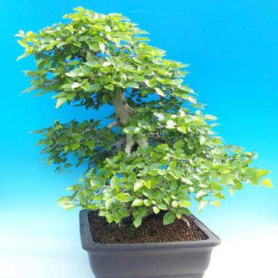 Outdoor-Bonsai -Carpinus CARPINOIDES - Koreanisch Hainbuche - 4