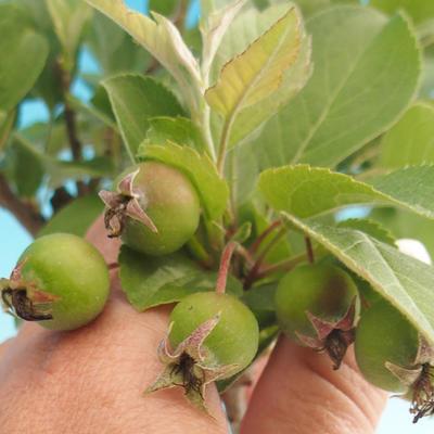 Bonsai im Freien - Malus halliana - Malplate Apfelbaum - 4