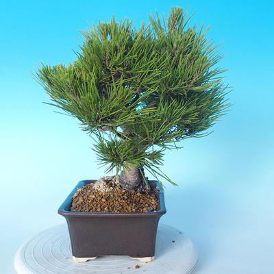 Pinus thunbergii - Thunbergkiefer - 4