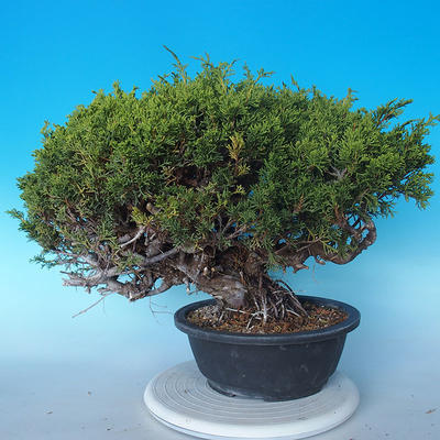 Outdoor Bonsai - Juniperus chinensis ITOIGAWA - Chinesischer Wacholder - 4