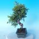 Outdoor Bonsai - Juniperus chinensis ITOIGAWA - Chinesischer Wacholder - 4/6