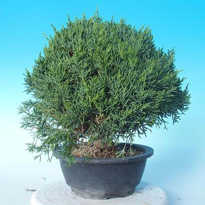 Outdoor Bonsai - Juniperus chinensis ITOIGAWA - Chinesischer Wacholder - 4