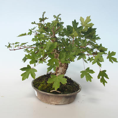 Outdoor Bonsai-Acer campestre-Ahorn Babyb 408-VB2019-26807 - 4