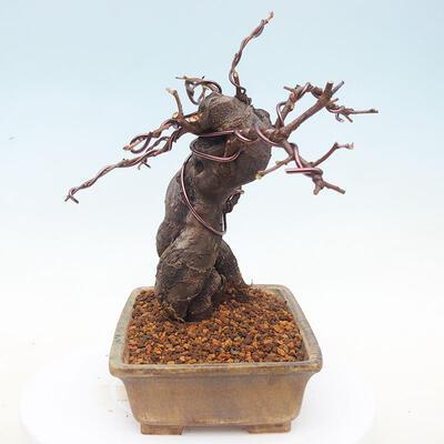 Bonsai im Freien - Pseudocydonia sinensis - Chinesische Quitte - 4