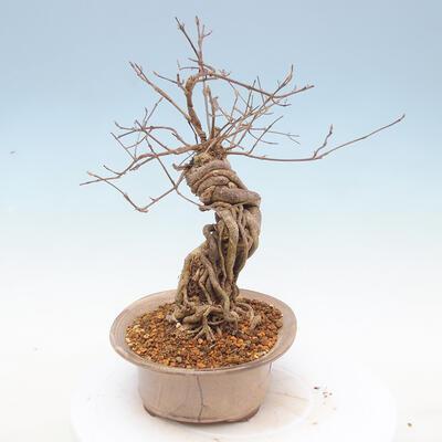 Bonsai im Freien - schöne Callicarpa - 4