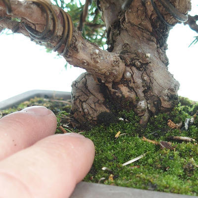 Bonsai im Freien - Juniperus chinensis Itoigawa-chinesischer Wacholder - 4