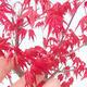 Outdoor Bonsai - Ahorn Palmatum DESHOJO - Ahorn Palmate - 4/4