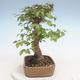 Bonsai im Freien - Carpinus CARPINOIDES - Koreanische Hainbuche - 4/5