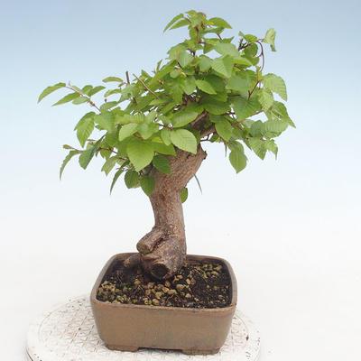 Bonsai im Freien - Carpinus CARPINOIDES - Koreanische Hainbuche - 4