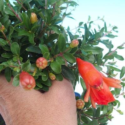 Zimmer Bonsai-PUNICA Granatum-Granatapfel - 4