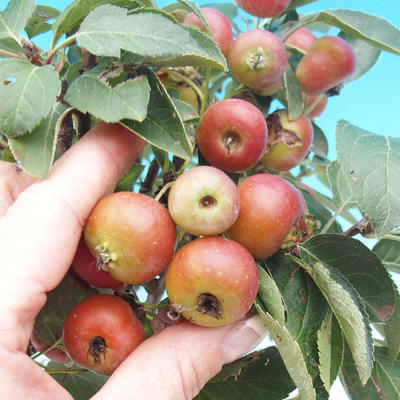 Outdoor-Bonsai -Malus Halliana - fruited Apfel - 4