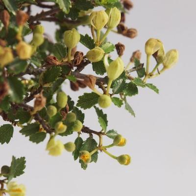 Innenbonsai - Ulmus parvifolia - kleine Blattulme PB22054 - 4