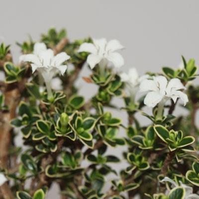 Indoor Bonsai - Serissa foetida Variegata - Baum der tausend Sterne PB2191320 - 4