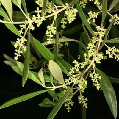 Indoor Bonsai - Olea europaea sylvestris -Oliva Europäisches kleines Blatt PB220486 - 4