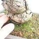 Bonsai im Freien - Pinus parviflora - kleinblumige Kiefer - 5/5
