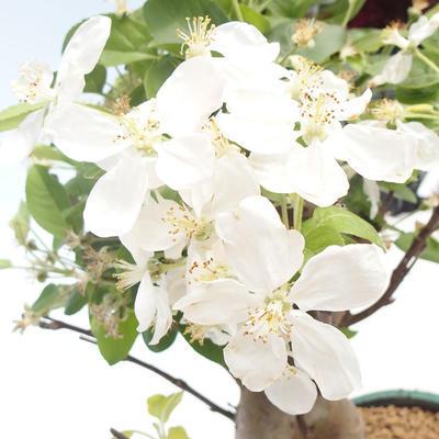 Bonsai im Freien - Malus halliana - Kleiner Apfel VB2020-450 - 5