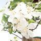 Bonsai im Freien - Malus halliana - Kleiner Apfel VB2020-450 - 5/5