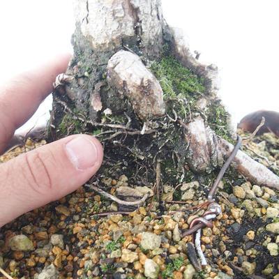 Bonsai im Freien - Pinus Mugo - kniende Kiefer - 5