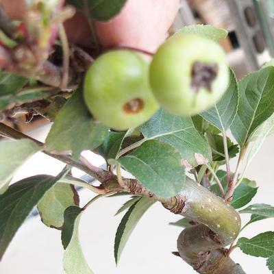 Bonsai im Freien - Malus halliana - Apfelbaum mit kleinen Früchten - 5