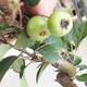 Bonsai im Freien - Malus halliana - Apfelbaum mit kleinen Früchten - 5/5