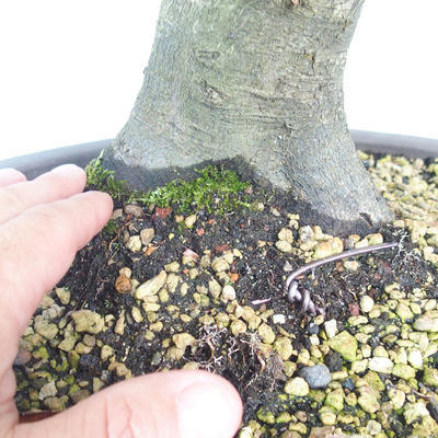 Bonsai im Freien - Hainbuche - Carpinus betulus - 5