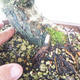 Outdoor Bonsai-Ulmus Glabra-Massiver Ton - 5/5
