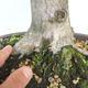 Bonsai im Freien - Hainbuche - Carpinus betulus - 5/5