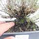 Bonsai im Freien - Berg Satureja - Satureja montana - 5/6
