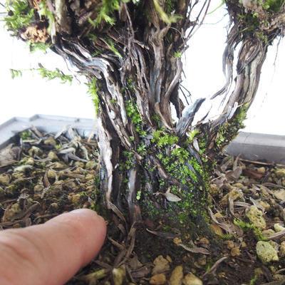 Bonsai im Freien - Berg Satureja - Satureja montana - 5