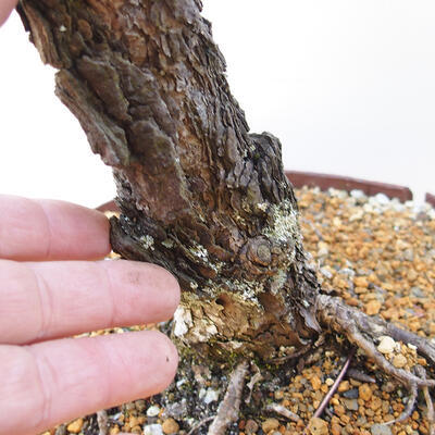 Outdoor-Bonsai - Pinus sylvestris - Waldkiefer - 5