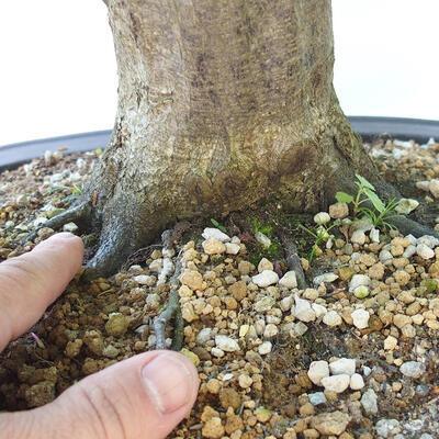 Outdoor-Bonsai - Hainbuche - Carpinus betulus - 5