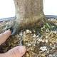 Outdoor-Bonsai - Hainbuche - Carpinus betulus - 5/5
