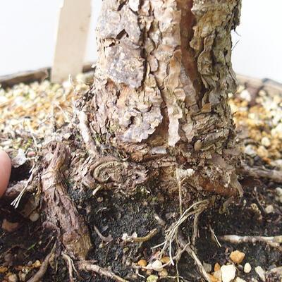 Outdoor-Bonsai - Pinus sylvestris Watereri - Waldkiefer - 5