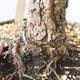 Outdoor-Bonsai - Pinus sylvestris Watereri - Waldkiefer - 5/5