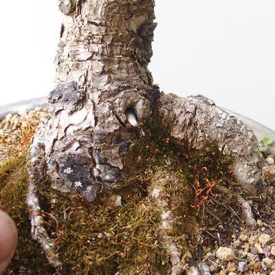 Outdoor-Bonsai - Larix decidua - Lärche - 5