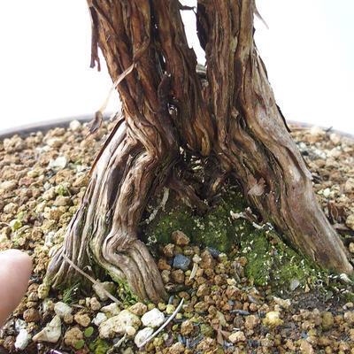 Outdoor-Bonsai - Fingerkraut - Potentila fruticosa gelb - 5