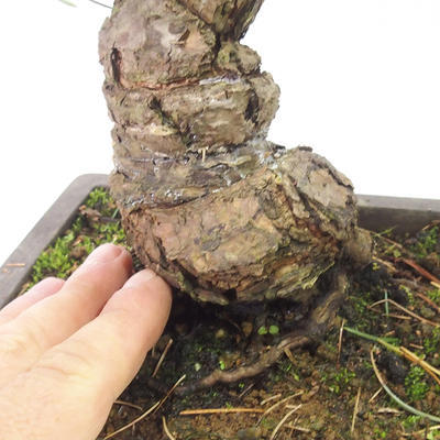 Bonsai im Freien - Pinus parviflora - kleinblumige Kiefer - 5