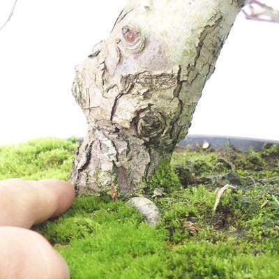 Bonsai im Freien - Weißblumen des Weißdorns - Crataegus laevigata - 5