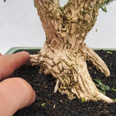 Innenbonsai - Buxus harlandii - Korkbuchsbaum - 5