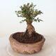 Outdoor-Bonsai - Ulmus parvifolia SAIGEN - Kleinblättrige Ulme - 5/7
