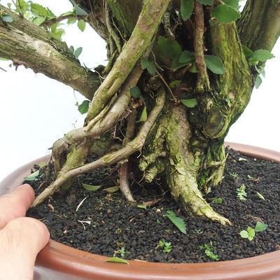 Indoor-Bonsai - Cudrania equisetifolia - 5