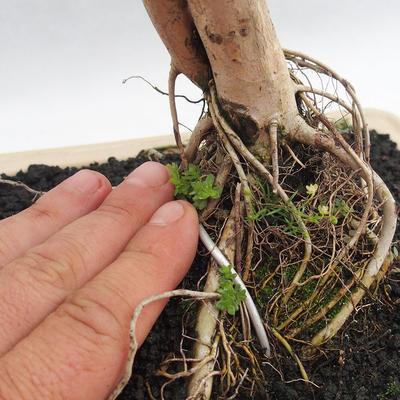 Indoor Bonsai - Australische Kirsche - Eugenia uniflora - 5