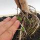 Indoor Bonsai - Australische Kirsche - Eugenia uniflora - 5/5