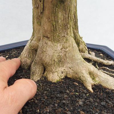Innenbonsai - Duranta erecta Variegata - 5