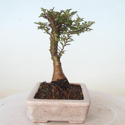 Outdoor-Bonsai - Ulmus parvifolia SAIGEN - Kleinblättrige Ulme - 5