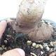 Outdoor-Bonsai -Malus Halliana - fruited Apfel - 5/6