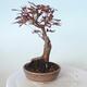 Outdoor-Bonsai - Acer-Palme. Atropurpureum-Rotes Palmblatt - 5/6