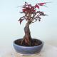 Outdoor-Bonsai - Acer-Palme. Atropurpureum-Rotes Palmblatt - 5/5