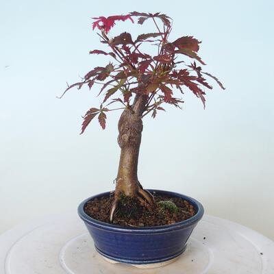 Outdoor-Bonsai - Acer-Palme. Atropurpureum-Rotes Palmblatt - 5